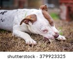 pit bull chewing tennis ball | Shutterstock . vector #379923325