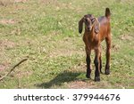 Young Brown Goat In Grass Fiel...