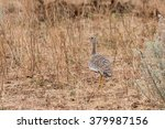 Small photo of Female Northern Black Korhaan (Afrotis afraoides) in sandveld, Namibia