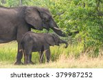 mom and calf african elephant ... | Shutterstock . vector #379987252