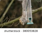 Grey Squirrel Hanging Upside...