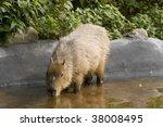 Capybara Drinking Water