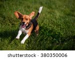 playful young beagle running in ... | Shutterstock . vector #380350006