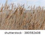 Dry Reeds In Wintertime