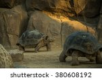 A Giant Galapagos Turtles On A...