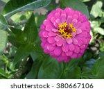zinnia flower pink flower | Shutterstock . vector #380667106