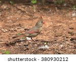 northern cardinal  female  | Shutterstock . vector #380930212