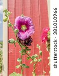 Small photo of Hollyhocks (Althaea) blossoms with green leaves, buds, and seeds on the plants