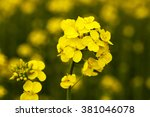 Flowering Canola. Spring