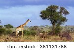 giraffe in kruger national park ... | Shutterstock . vector #381131788