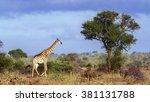 giraffe in kruger national park ... | Shutterstock . vector #381131788