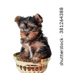 Puppy Yorkshire Terrier Close Up