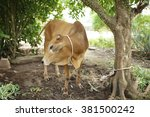 brown cow tied on a tree | Shutterstock . vector #381500242