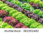 colorful fields of lettuce ... | Shutterstock . vector #381501682