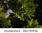 Yellow-crowned Night Heron, Nyctanassa Violacea Birds of florida