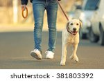Stock photo owner and labrador dog walking in city on unfocused background 381803392