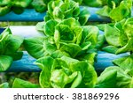 hydroponic vegetable is planted ... | Shutterstock . vector #381869296