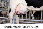 Small photo of Cows udders