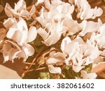 Small photo of Vintage looking Cyclamen flower Plantae Angiosperms Eudicots Asterids Ericales Myrsinaceae Cyclamen