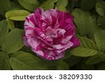 Two Tone Old English Pink Rose...