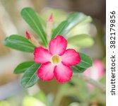 Small photo of Beautiful Pink Adenium obesum (Forssk)