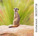 A Meerkat  Perched On A Rock