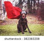 A Chocolate Labrador Retriever...