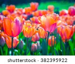 Red Tulips In A Soft Focus  ...