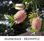 Ornamental Blooms Of ...