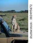 cheetah jumps up on the hood of ... | Shutterstock . vector #382495672
