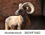 Male Bighorn Sheep Ram With...