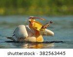 Pelican  Pelecanus Onocrotalus