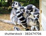 lemur monkey family on the grass | Shutterstock . vector #382674706