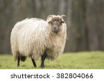 Small photo of Sheep is shaking off fuzz and fluff. Flocks of hair are flying in the air. It is almost Spring, then the wool of this sheep will be sheared again...