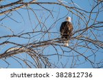 Bald Eagle Looking At The...