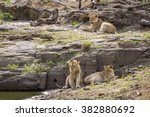 lion in kruger national park ... | Shutterstock . vector #382880692