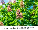 Small photo of Red horse chestnut florwers, Aesculus x carnea briotii