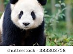 giant panda curiously looking... | Shutterstock . vector #383303758
