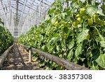 Greenhouse  Pepper Plants.
