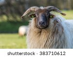 Funny Ram Is Watching You