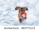 Longhaired Dachshund Dog Red...
