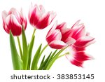 Closeup Shot Of Pink Tulips....