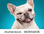 French Bulldog Isolated Over...