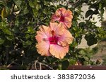 showy pink suffused with orange ... | Shutterstock . vector #383872036