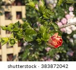 showy pink suffused with orange ... | Shutterstock . vector #383872042