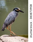 yellow crowned night heron. | Shutterstock . vector #383873908