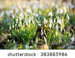 Snowdrop Flowers In A Park On ...