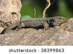 close-up of a Teide-lizard - stock photo
