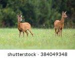 Buck Deer With Roe Deer In The...