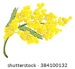yellow mimosa flower. isolated... | Shutterstock .eps vector #384100132